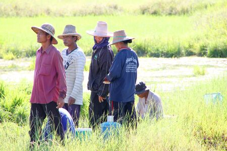 MUANG, MAHASARAKHAM - SEPTEMBER 10 : Unidentified farmers are in cooperative at work on September 10, 2012 at local rice field, Bua Kor, Muang, Mahasarakham, Thailand.