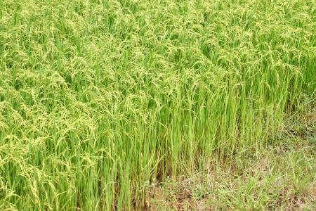 jasmine rice: Jasmine arroz en plantaciones de arroz verde