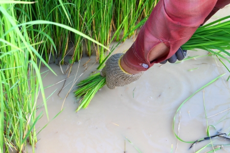 Farmer pulls out young rice from the ground photo