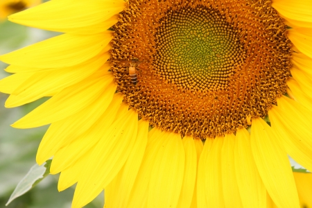 helianthus annuus: Sunflower (Helianthus annuus), annual plant and large inflorescence flowering head in Northeastern plantation of Thailand.