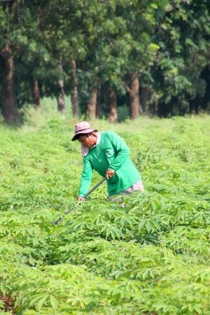 MUANG, MAHASARAKHAM - SEPTEMBER 18 : Unidentified worker is working in cassava plantation on September 18, 2012 at local farmland, Muang, Mahasarakham, Thailand.