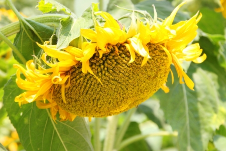 Sunflowers (Helianthus annuus), annual plant and large inflorescence flowering head in Northeastern plantation of Thailand.