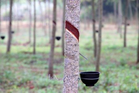 Rubber tree - Hevea brasiliensis (A. Juss.) Muell. Arg., plantation in northeastern Thailand. photo
