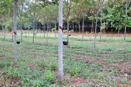 Rubber tree - Hevea brasiliensis (A. Juss.) Muell. Arg., plantation in northeastern Thailand. photo