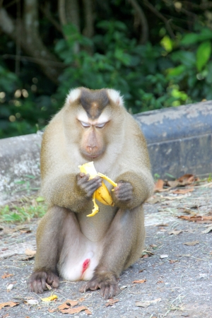 Long-tailed Macaque or crab-eating monkey in tropical rain forest of Khao Yai, Pak Chong, Korat, Thailand is eating banana. photo