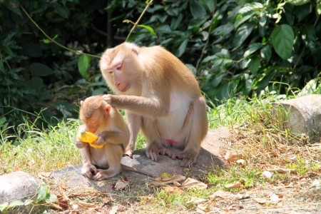 Long-tailed Macaque or crab-eating monkey in tropical rain forest of Khao Yai, Pak Chong, Korat, Thailand is eating banana. Stock Photo - 15813140