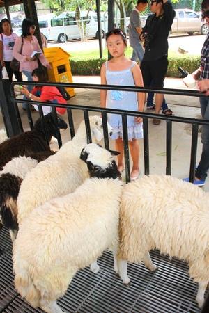 korat: PAK CHONG, KORAT, THAILAND - OCTOBER 13 : The unidentified tourists are feeding sheeps on October 13, 2012 at Chok Chai Farm, Pak Chong, Korat, Thailand.