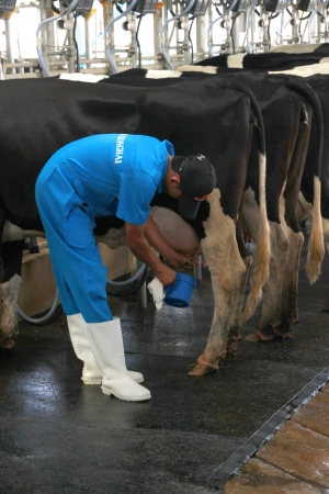 PAK CHONG, KORAT, THAILAND - OCTOBER 13 : The unidentified worker is preparing to milking cow on October 13, 2012 at Chok Chai Farm, Pak Chong, Korat, Thailand.
