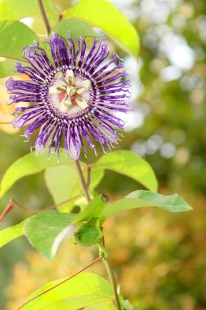 susan: Blue Eyed Susan - Passiflora hybrid