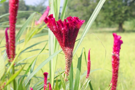 cockscomb: Cockscomb flowers (Celosia flowers) Stock Photo