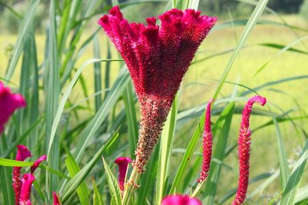 celosia: Cockscomb flowers (Celosia flowers) Stock Photo
