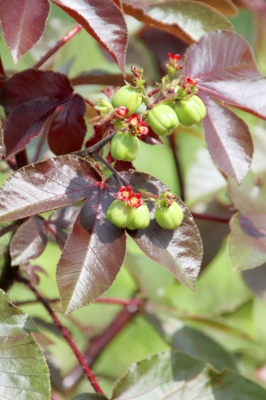 Jatropha curcas Linn. is a new tree for a new way to bioenergy for engine. Stock Photo - 15875772
