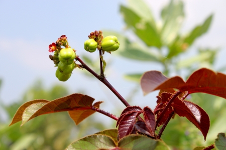 Jatropha curcas Linn. is a new tree for a new way to bioenergy for engine. Stock Photo - 15875771