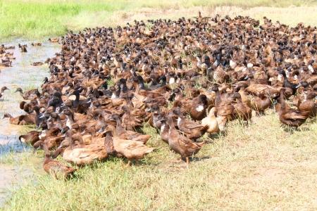 Flock of ducks in open ducks farming system
