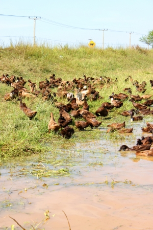 Flock of ducks in open system ducks farming Stock Photo - 15958524