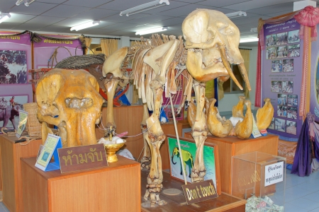 Elephant skeleton in museum at elephant study center, Ban Ta Klang, Tha Tum, Surin, Thailand. Stock Photo - 16224427