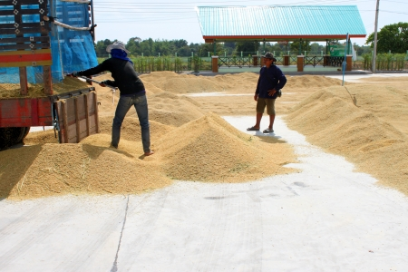 MUANG, MAHASARAKHAM - NOVEMBER 14 : Unidentified farmers are bringing ton of paddy to sell in rice commercial public project on November 14, 2012 at Agricultural Cooperative, Muang, Mahasarakham, Thailand. Stock Photo - 16497015