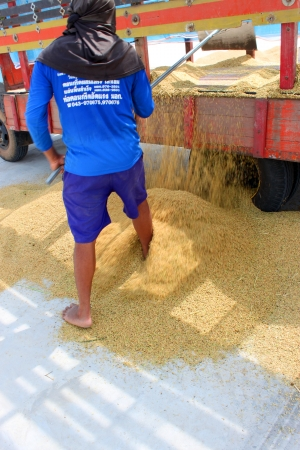 public project: MUANG, MAHASARAKHAM - NOVEMBER 14 : Unidentified farmers are bringing ton of paddy to sell in rice commercial public project on November 14, 2012 at Agricultural Cooperative, Muang, Mahasarakham, Thailand.