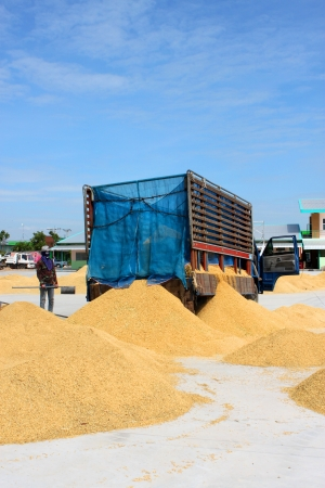 MUANG, MAHASARAKHAM - NOVEMBER 16 : Unidentified farmers are bringing ton of paddy to sell in rice commercial public project on November 16, 2012 at Agricultural Cooperative, Muang, Mahasarakham, Thailand. Stock Photo - 16497098