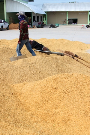 MUANG, MAHASARAKHAM - NOVEMBER 16 : Unidentified farmers are bringing ton of paddy to sell in rice commercial public project on November 16, 2012 at Agricultural Cooperative, Muang, Mahasarakham, Thailand. Stock Photo - 16497106