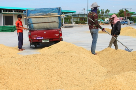 MUANG, MAHASARAKHAM - NOVEMBER 16 : Unidentified farmers are bringing ton of paddy to sell in rice commercial public project on November 16, 2012 at Agricultural Cooperative, Muang, Mahasarakham, Thailand.