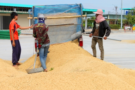 public project: MUANG, MAHASARAKHAM - NOVEMBER 16 : Unidentified farmers are bringing ton of paddy to sell in rice commercial public project on November 16, 2012 at Agricultural Cooperative, Muang, Mahasarakham, Thailand.
