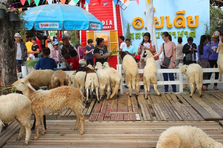 ayothaya: AYUTTHAYA, THAILAND - JANUARY 6 : Unidentified tourists are feeding sheeps in Ayothaya Floating Market on January 6, 2013 at Ayutthaya, Thailand.