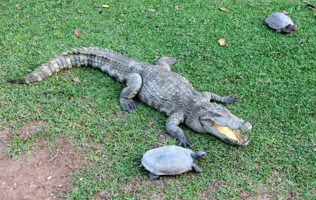 Crocodile and turtles in farm Stock Photo - 17348697