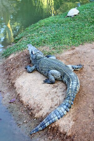 Crocodile and turtle in farm photo