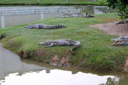 Crocodiles in farm Stock Photo - 17348675