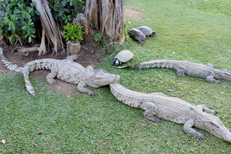Crocodiles and turtles in farm photo
