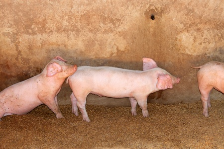 Pink pigs in sty of rural farm, Thailand photo