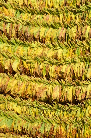 impotent: Loose tobacco leaves drying in the sun