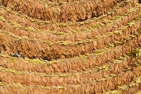 Loose tobacco leaves drying in the sun photo