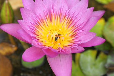 Auspicious water lily lotus flowers photo
