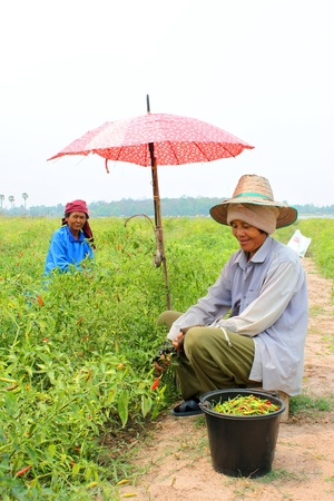 MUANG, MAHASARAKHAM - MARCH 15 : Unidentified women are working in pepper field on March 15, 2013 at Nong Wang Noi Village, Kok Koh, Muang, Mahasarakham, Thailand.