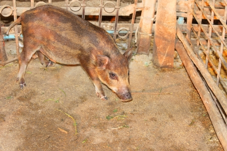 Local pig is in pigsty of northeast of Thailand Stock Photo - 18935109