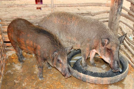 Local pigs are in pigsty of northeast of Thailand photo