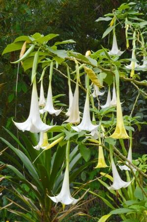 loudspeaker flowers - Datura metel L  photo