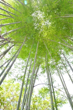 bamboo clumps photo