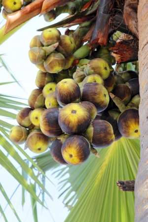 palmyra palm: toddy palm or Palmyra palm fruits on tree Stock Photo