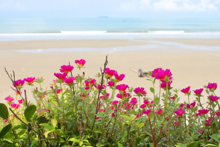 magentas: purslane flowers ornamented on the beach and sea beach on background