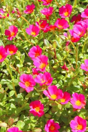 magentas: purslane flowers on background