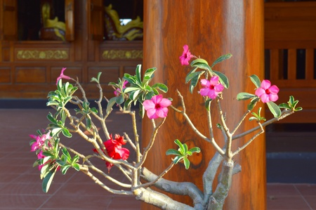 adenium obesum balf: Adenium obesum Balf  is houseplant and a genus of flowering plants in the dogbane family, Apocynaceae