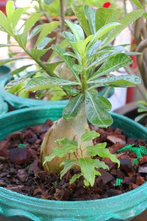 adenium obesum balf: Adenium obesum Balf  is houseplant and a genus of flowering plants in the dogbane family