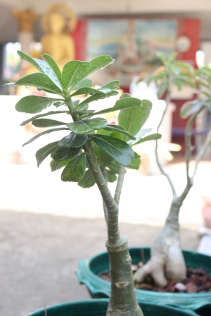 adenium obesum balf: Adenium obesum Balf  is houseplant and a genus of flowering plants in the dogbane family