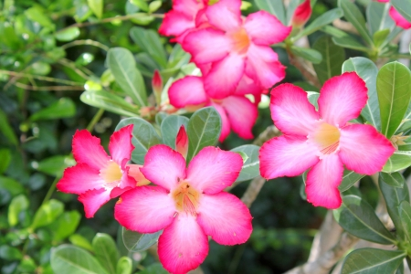 obesum: Adenium obesum Balf  is houseplant and a genus of flowering plants in the dogbane family