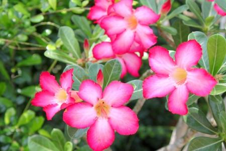 adenium obesum: Adenium obesum Balf  is houseplant and a genus of flowering plants in the dogbane family