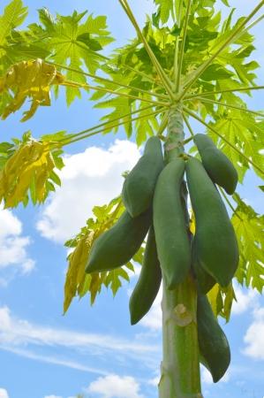 flesh colour: raw of green papaya fruits on tree in tropical garden Stock Photo