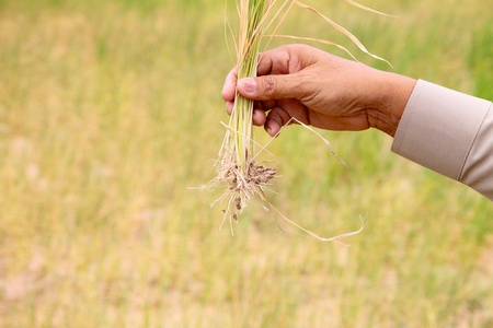 penury: dry rice in hand of farmer concept of drought and aridity
